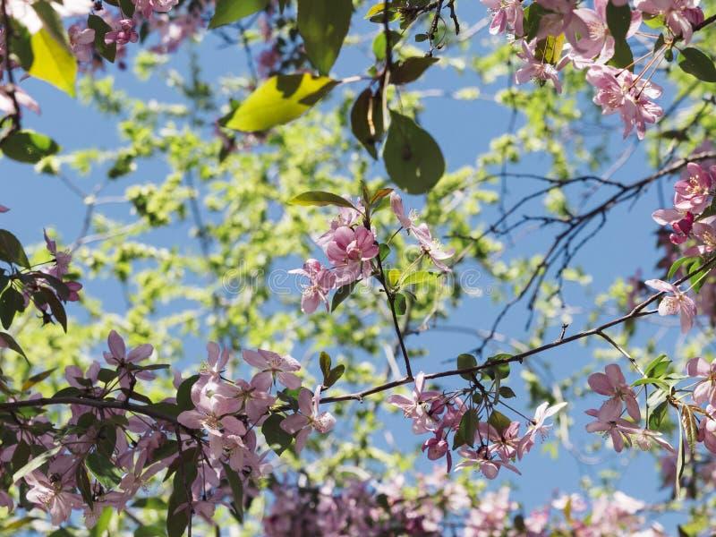 Att blomstra det körsbärsröda trädet för den rosa sacuraen blommar mot blå himmel arkivfoton