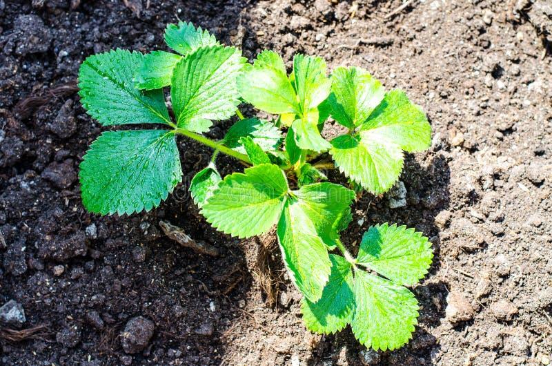Att bry sig för trädgårds- jordgubbar, hand lossar jordningen arkivbild
