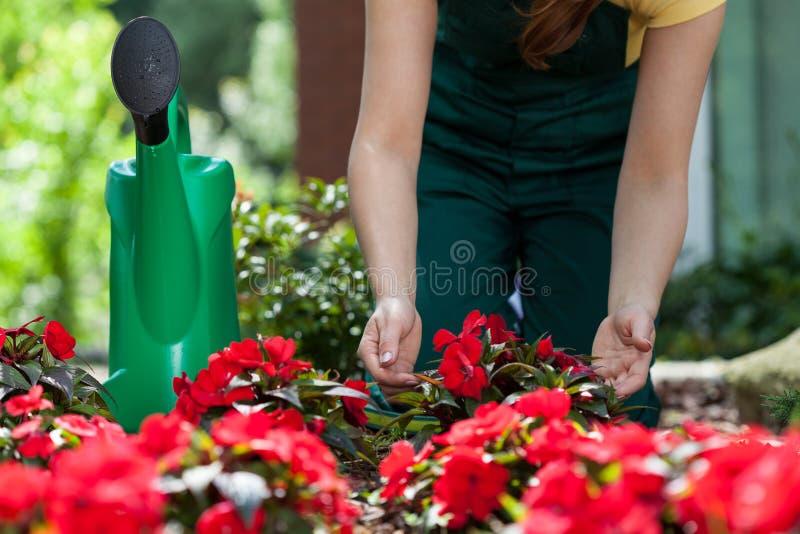 Att bry sig för trädgårdsmästare av utomhus- blommor arkivbilder