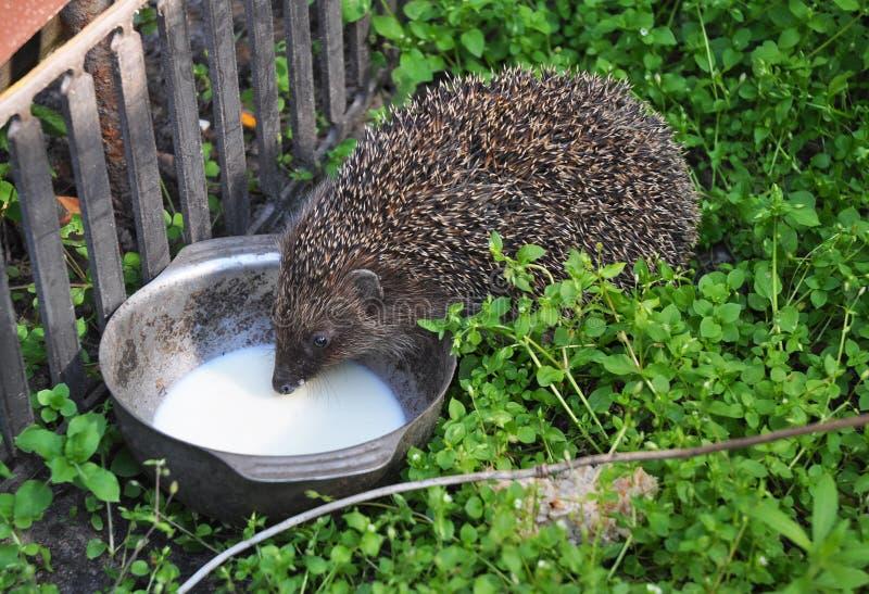 Att dricka för igelkott mjölkar i trädgården Tilldragning av igelkottar Igelkottar är intolerant laktos, så behaga ger inte dem m arkivfoton
