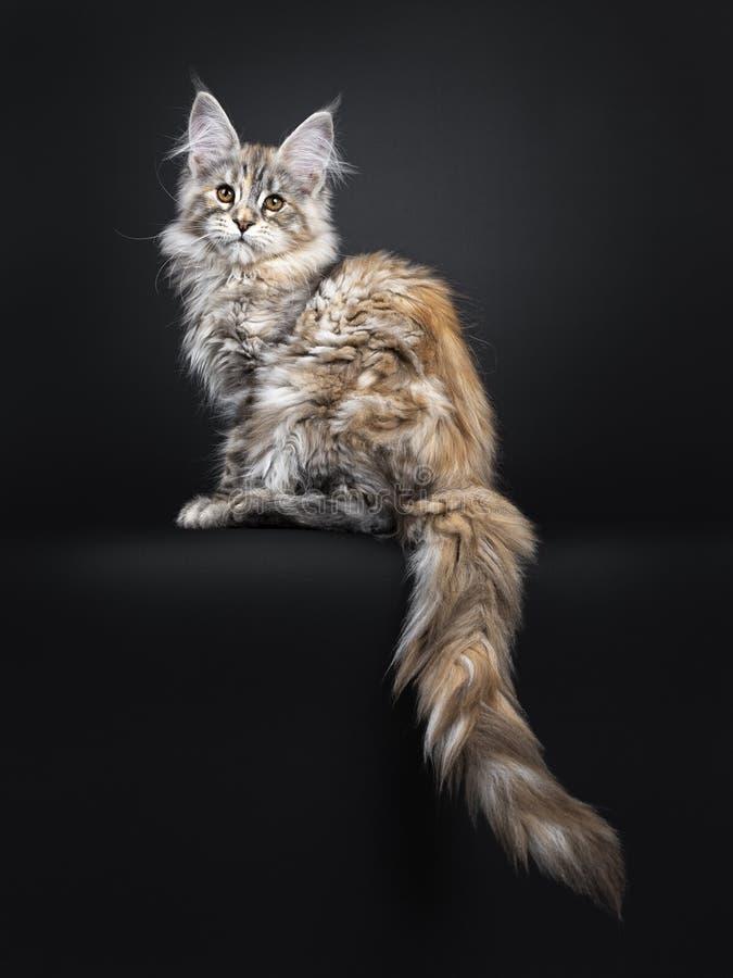 Att förbluffa försilvrar den tortieMaine Coon katten på svart bakgrund fotografering för bildbyråer