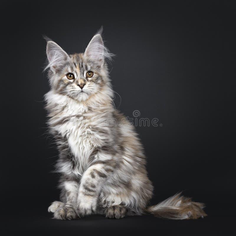 Att förbluffa försilvrar den tortieMaine Coon katten på svart bakgrund arkivfoto
