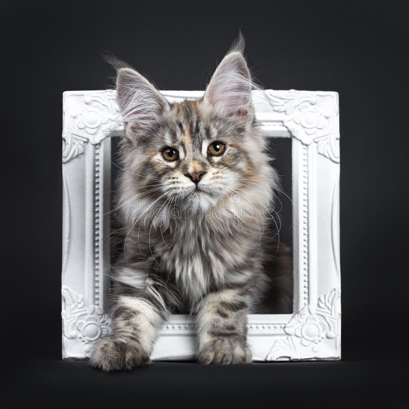 Att förbluffa försilvrar den tortieMaine Coon katten på svart bakgrund royaltyfri fotografi