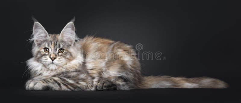Att förbluffa försilvrar den tortieMaine Coon katten på svart bakgrund royaltyfri bild