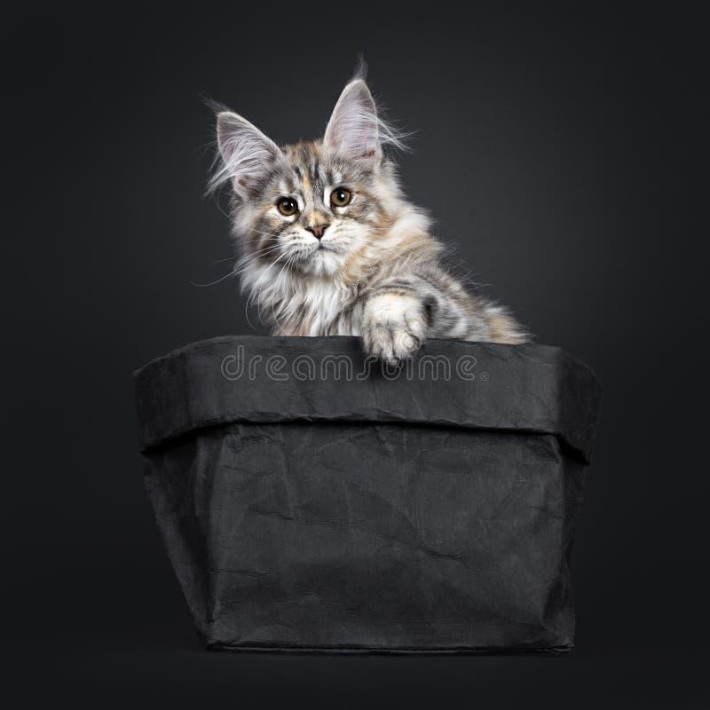 Att förbluffa försilvrar den tortieMaine Coon katten på svart bakgrund arkivbilder