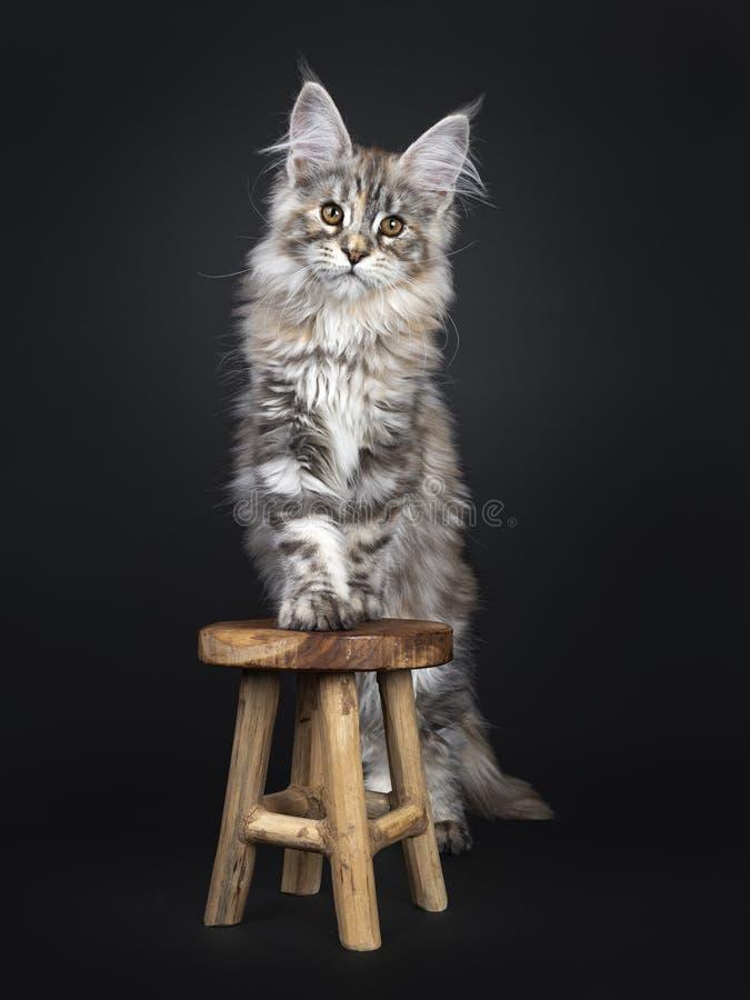 Att förbluffa försilvrar den tortieMaine Coon katten på svart bakgrund royaltyfri foto
