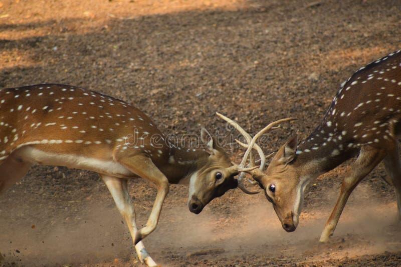 Att förfölja för hjortar skulle vara den mycket fina sporten, om endast hjortarna hade vapen royaltyfria bilder