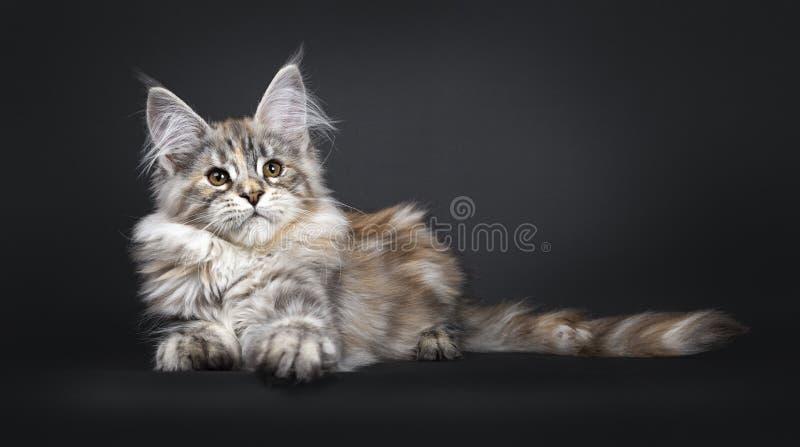 Att f?rbluffa f?rsilvrar den tortieMaine Coon katten p? svart bakgrund royaltyfria bilder