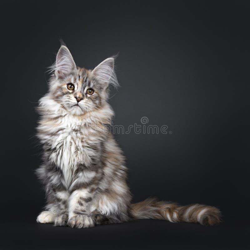 Att f?rbluffa f?rsilvrar den tortieMaine Coon katten p? svart bakgrund royaltyfria foton