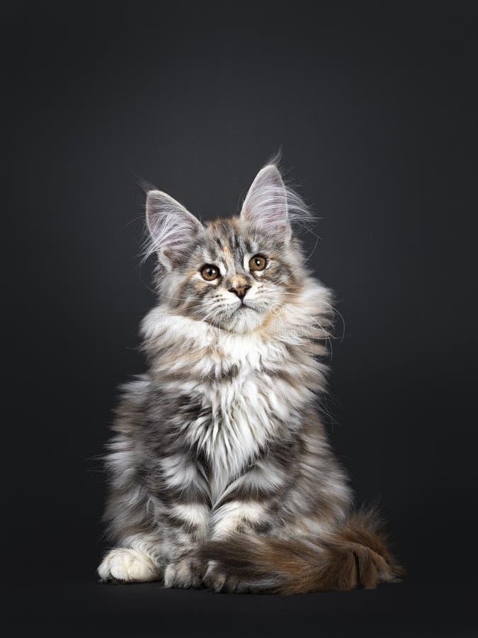 Att f?rbluffa f?rsilvrar den tortieMaine Coon katten p? svart bakgrund arkivbilder
