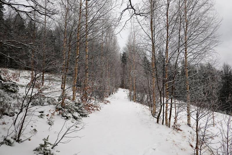 Att fotvandra släpar små björkträd i vinter royaltyfria bilder