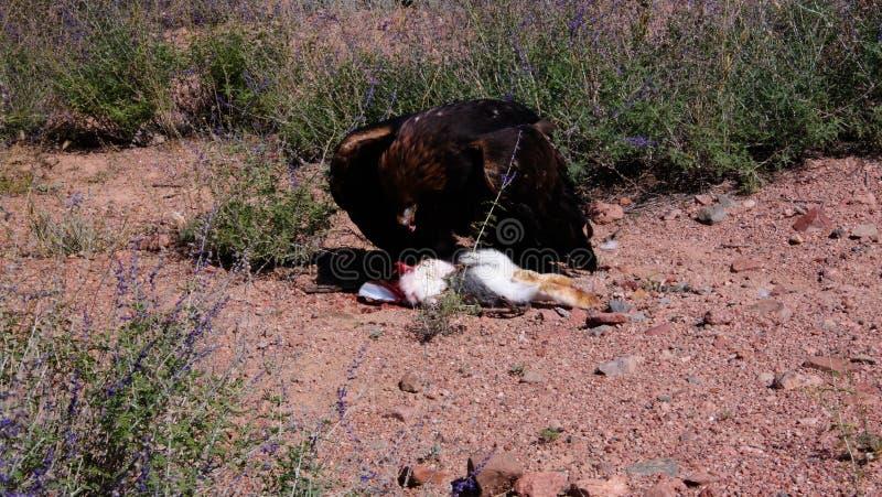 Att jaga den guld- örnen aka Berkut och dess rov är haren, Bokonbayevo, Kirgizistan royaltyfri fotografi