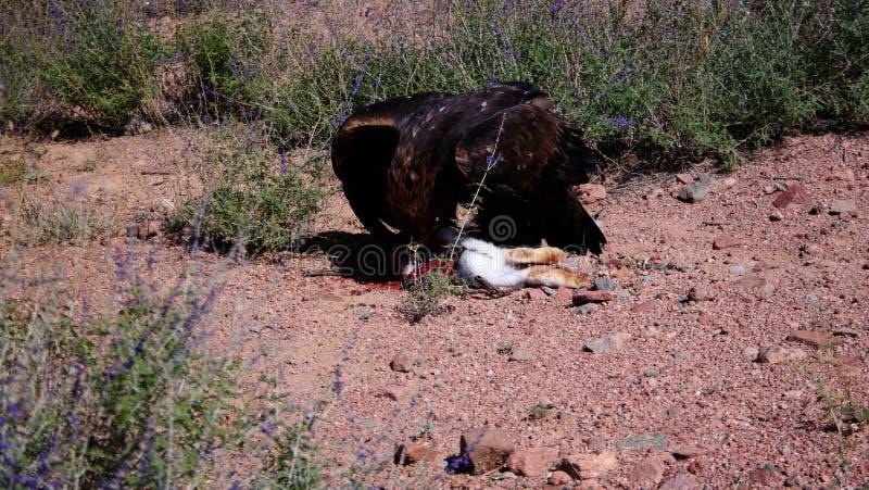 Att jaga den guld- örnen aka Berkut och dess rov är haren, Bokonbayevo, Kirgizistan fotografering för bildbyråer