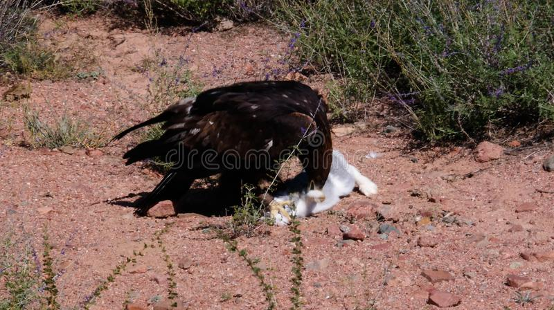 Att jaga den guld- örnen aka Berkut och dess rov är haren, Bokonbayevo, Kirgizistan royaltyfri bild