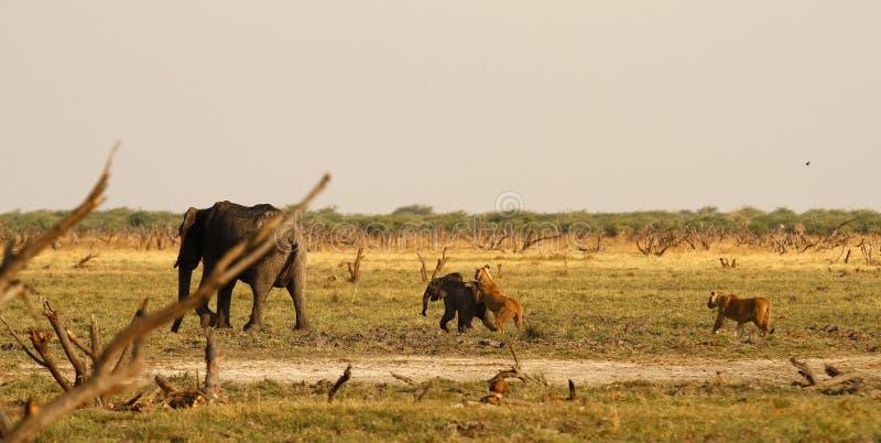 Att jaga för lejon behandla som ett barn elefanten fotografering för bildbyråer