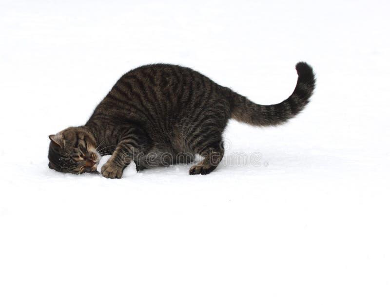att leka för katt kastar snöboll royaltyfria foton