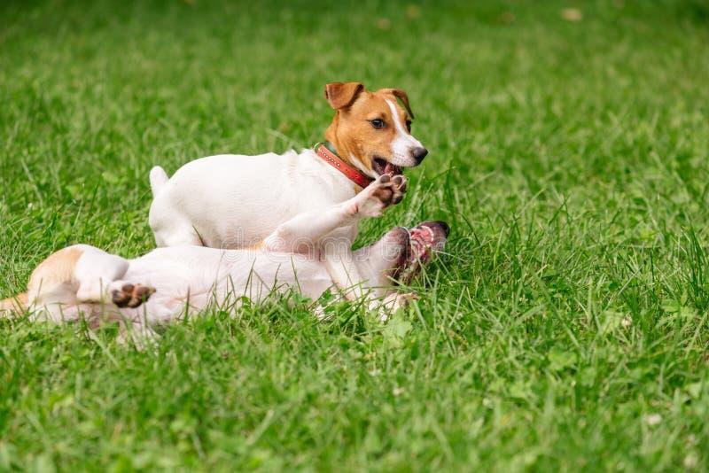 Att lyfta för hund tafsar för att kapitulera, i att brottas konkurrens med en annan hund royaltyfri bild