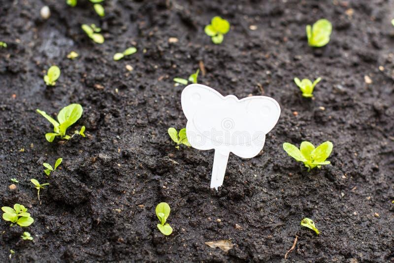 Att plantera av grön sallad spirar i jordningen royaltyfria bilder