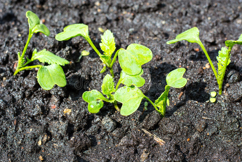 Att plantera av grön sallad spirar i jordningen royaltyfri fotografi