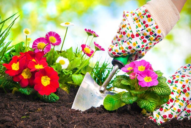 Att plantera blommar i en trädgård royaltyfri foto