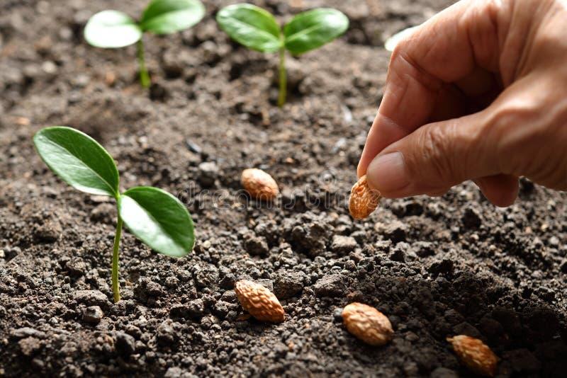 Att plantera för hand för bonde` s kärnar ur royaltyfri bild