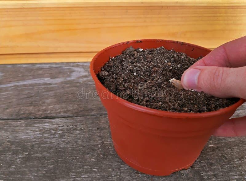 Att plantera för hand kärnar ur i en blomkruka arkivfoton