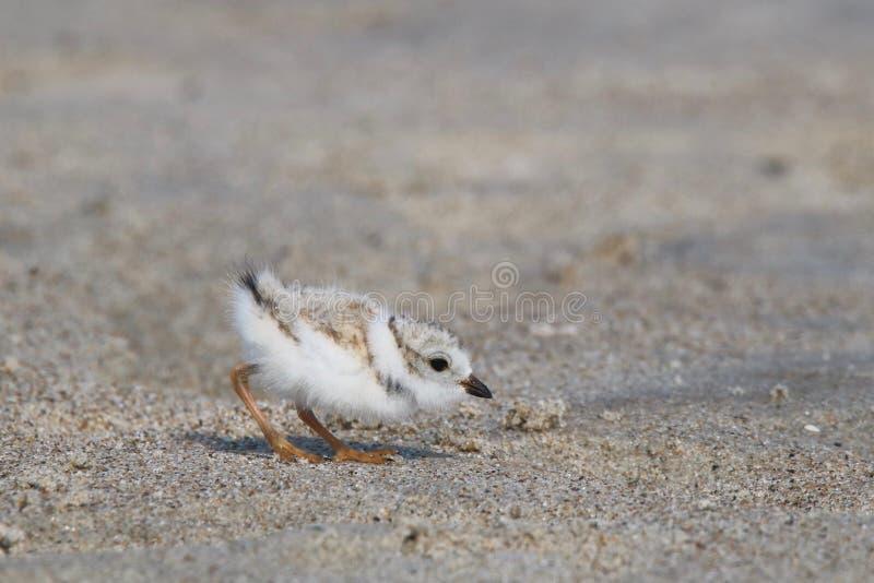 Att söka efter föda behandla som ett barn leda i rör brockfågeln arkivbild