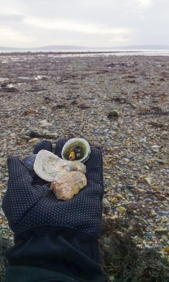 Att samla skal och vaggar som en souvenir royaltyfri foto