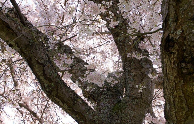 Att se upp till och med filialerna av ett körsbärsrött träd på de ursnygga rosa färgerna blomstrar royaltyfri foto