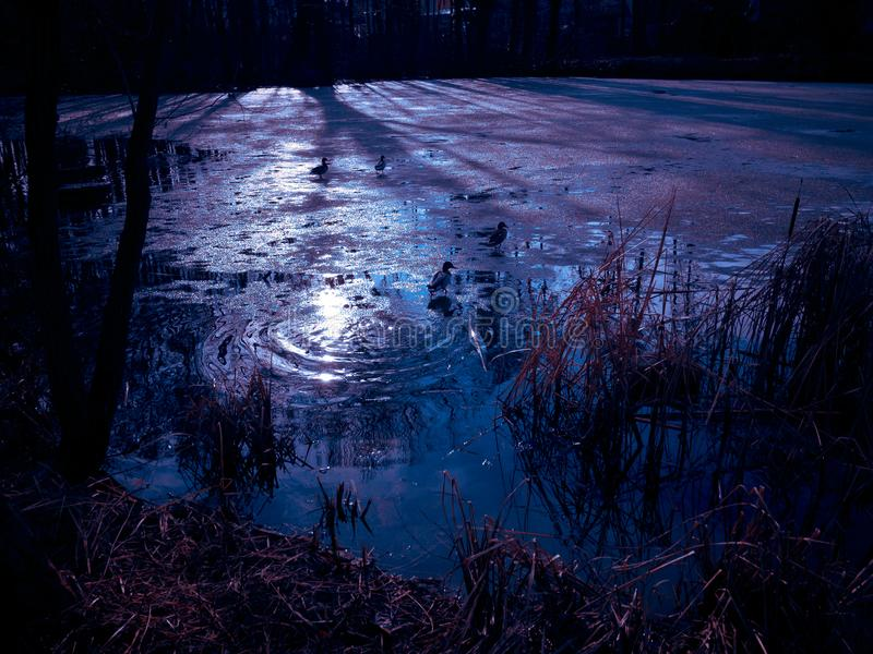 Att simma duckar på den iskalla sjön arkivbilder