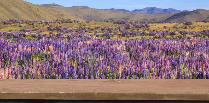 Att sitta på träbänk och tycker om naturligt landskap för fält för lösa blommor för skönhetlupin Lopp- och naturbegrepp arkivbilder