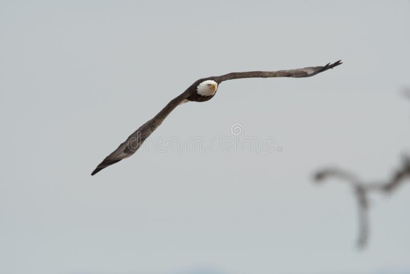 Att skjuta i höjden den skalliga örnen med vingar fördelade i ett ljus - grå himmel arkivfoto