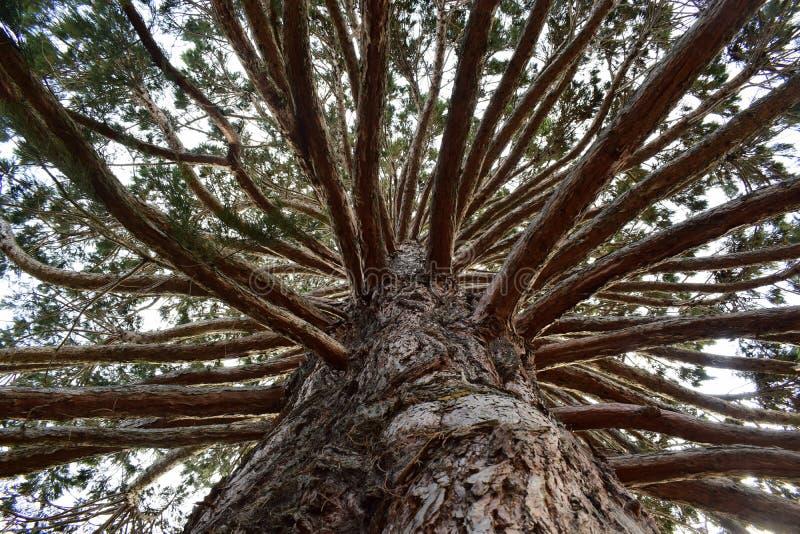 Att stirra upp in i ett träd med många förgrena sig arkivbilder