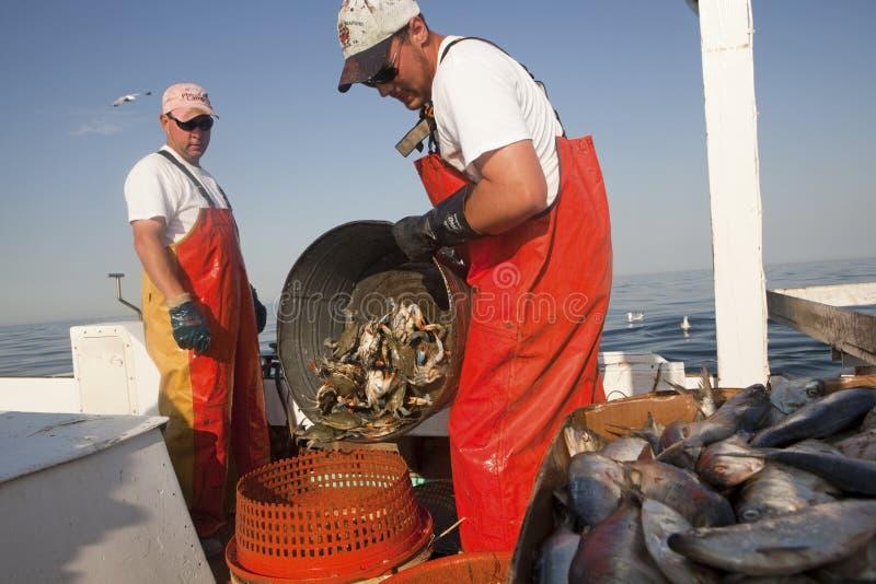 Att tömma fångar krabbor in i en krabbakruka royaltyfri bild