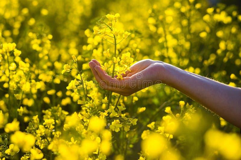 Att trycka på för kvinnlighänder våldtar blommor handlag med naturen, kvinnlig hand royaltyfri fotografi