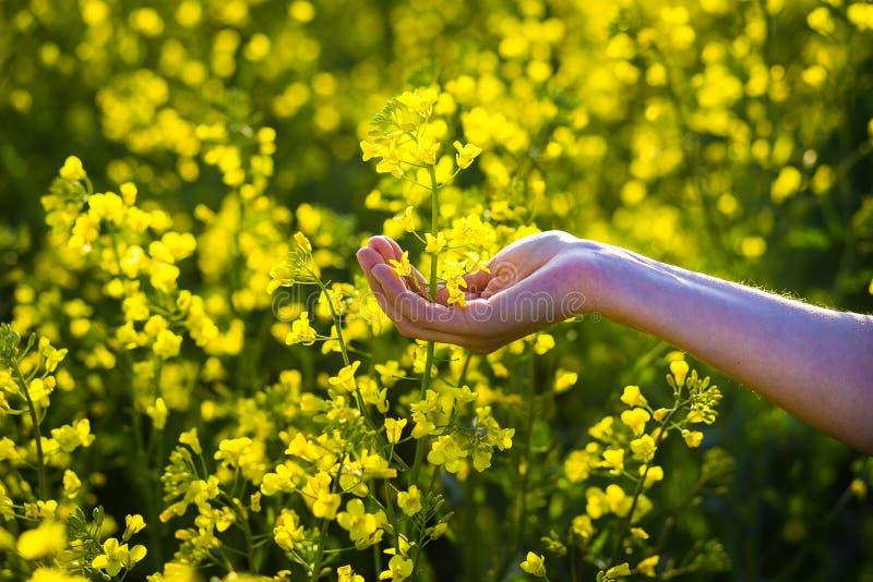 Att trycka på för kvinnlighänder våldtar blommor handlag med naturen, kvinnlig hand fotografering för bildbyråer
