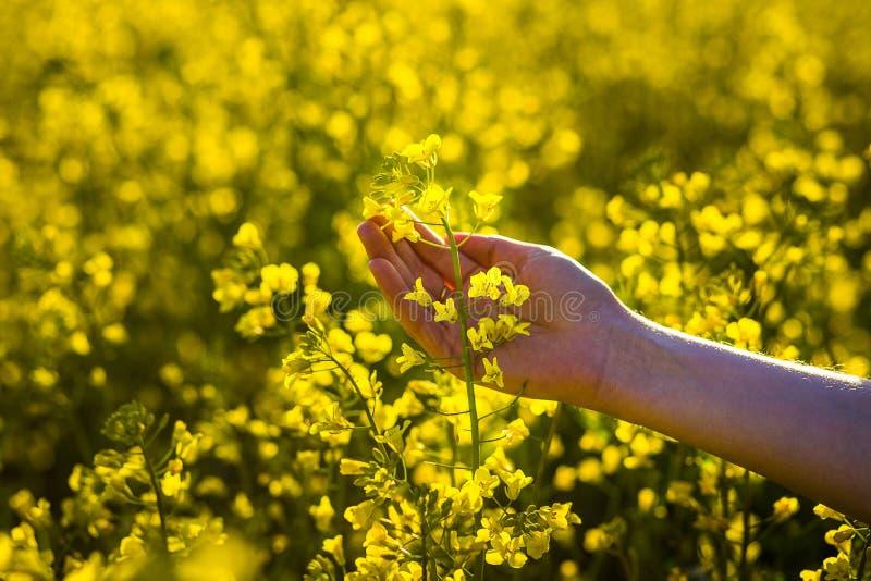 Att trycka på för kvinnlighänder våldtar blommor handlag med naturen, kvinnlig hand royaltyfri foto