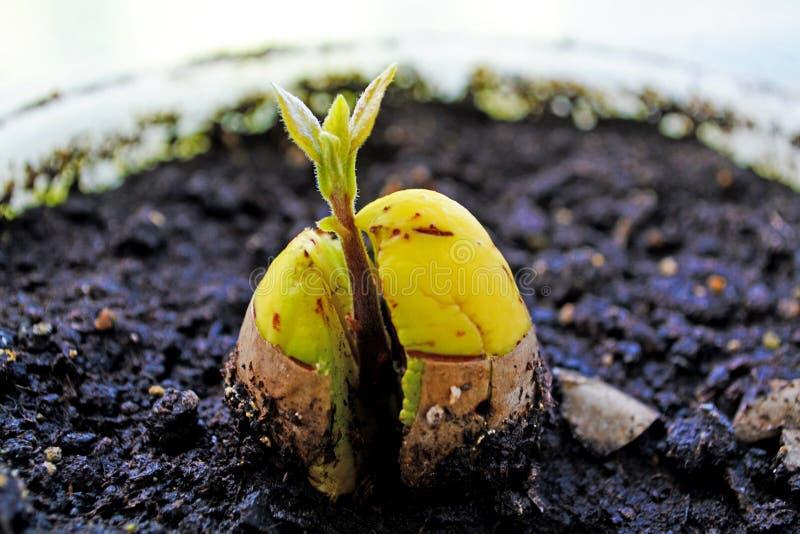 Att växa behandla som ett barn avokadot arkivbild