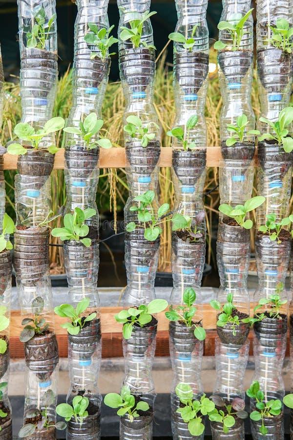Att växa för grönsaker in återanvänder plast- flaskor arkivbild