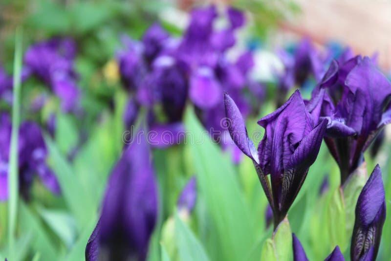 Att växa för irisblommor i en trädgård i en sommar parkerar arkivfoto
