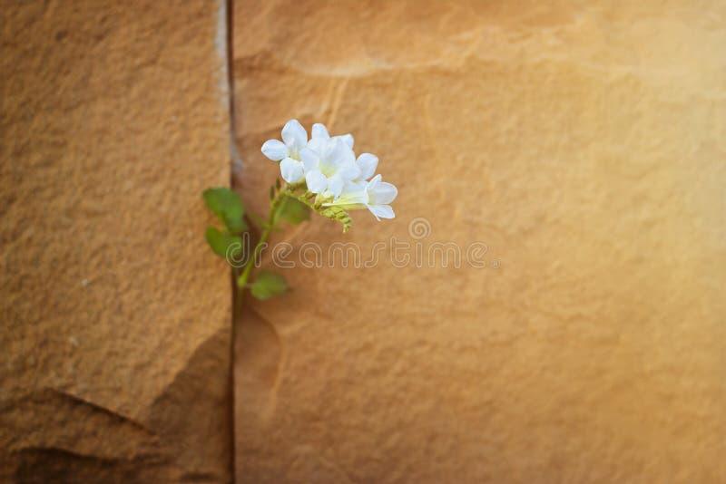 Att växa för vit blomma på sprickastenväggen, värme färg arkivbild