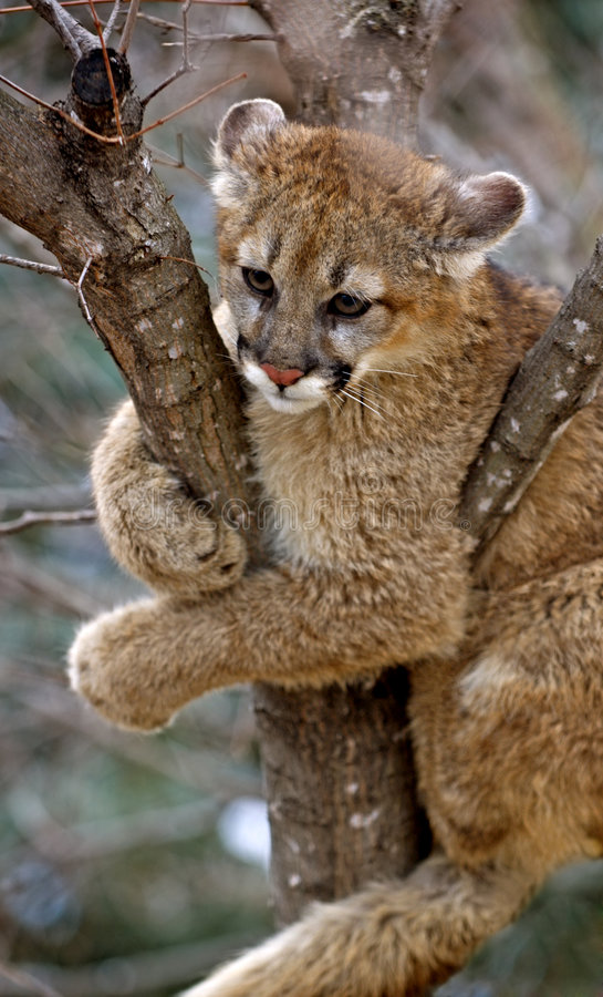 Attaccato - puma (Felis Concolor) immagini stock