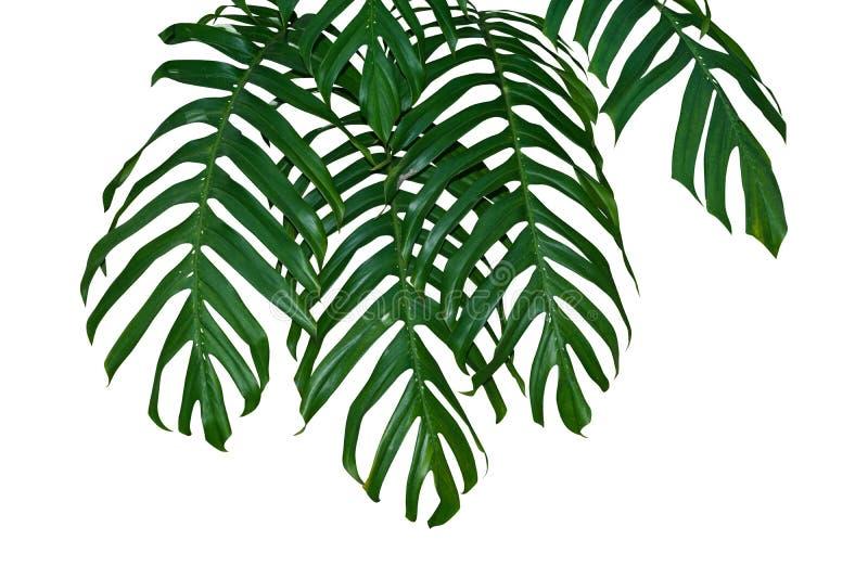 Attaccatura dei rami della giungla della foglia della pianta di Monstera isolata su fondo bianco, percorso di ritaglio fotografie stock libere da diritti