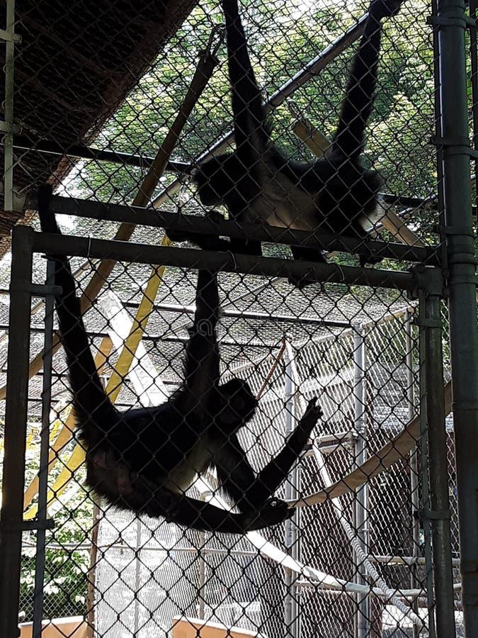 Attaccatura della scimmia di ragno immagini stock