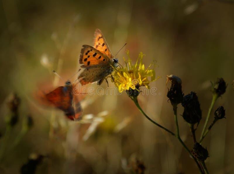 Attacco della farfalla fotografie stock
