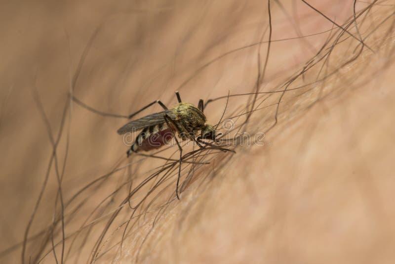 Attacco della zanzara immagine stock libera da diritti