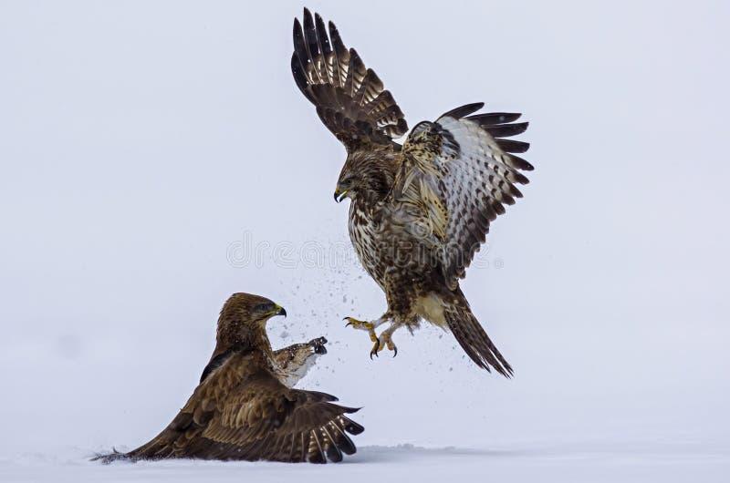 Attacco di un uccello predatore immagine stock libera da diritti