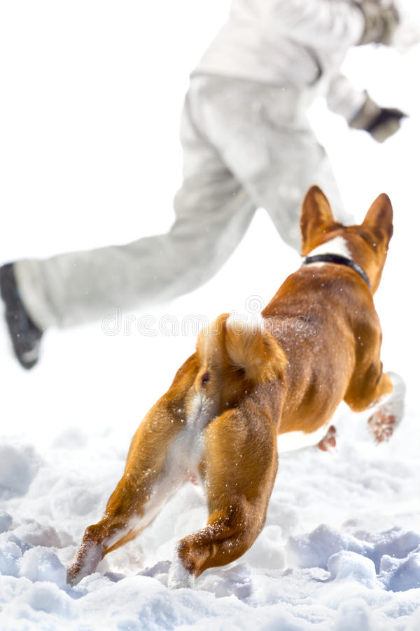 Attack. Red dog attack on a escape man in the snow. Isolated on white background stock photos