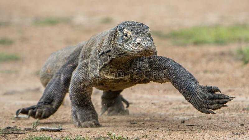 Attack av en Komodo drake Drakespringen på sand Den rinnande Komodo draken (Varanuskomodoensisen) royaltyfri foto
