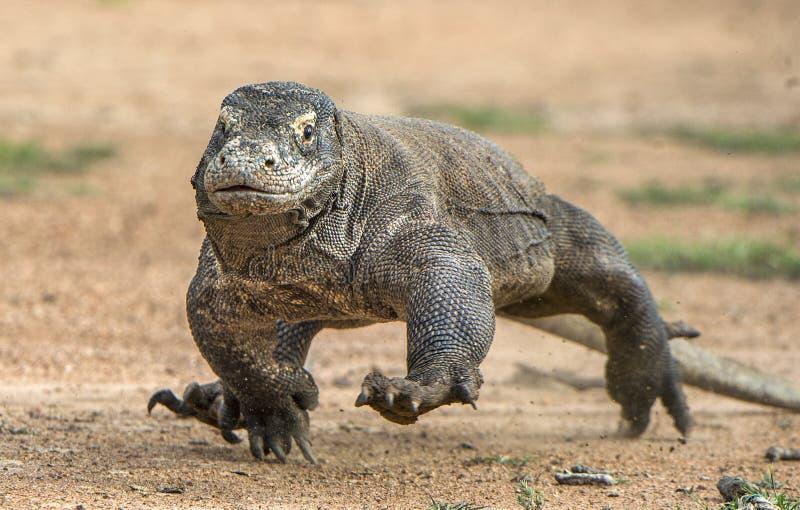Attack av en Komodo drake Drakespringen på sand Den rinnande Komodo draken (Varanuskomodoensisen) royaltyfria foton